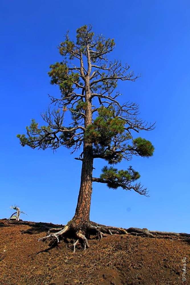Высокая сосна выросла на конусе вулкана