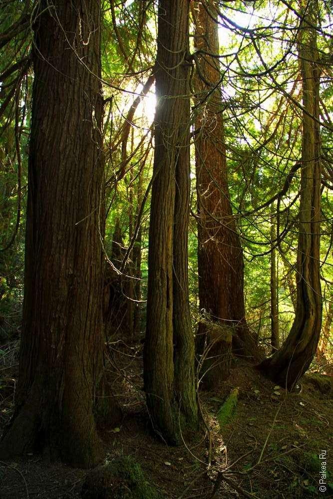 Мыс Флэттери - Лесной массив в парке Олимпик