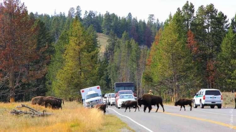 Бизоны переходят дорогу