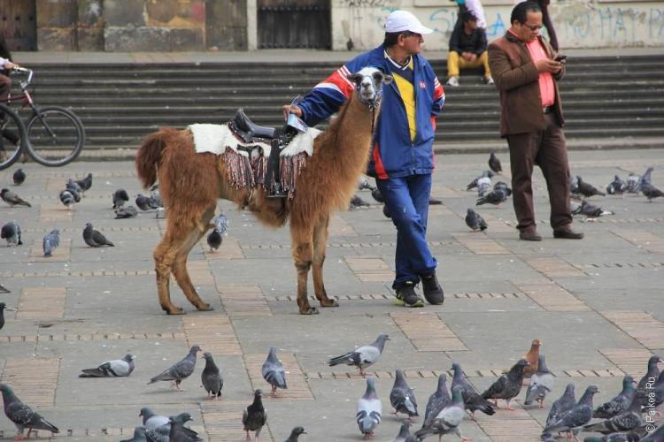 Ламы для туристов