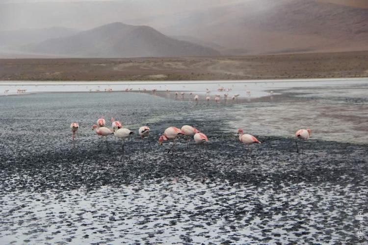Фламинго на черной лагуне