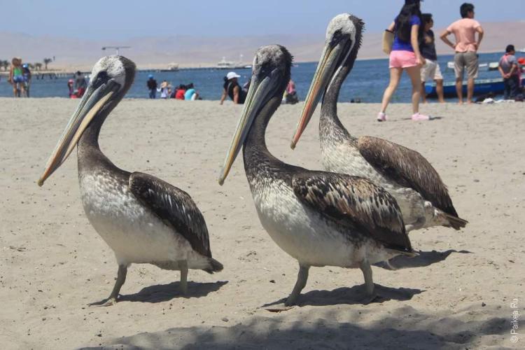 Пеликаны провожают в плавание по островам Баллестас