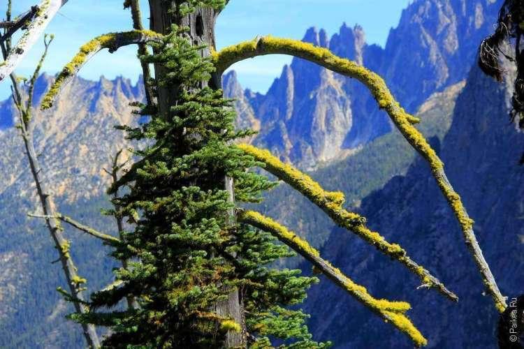 Ветви засохших деревьев вашингтон пасс