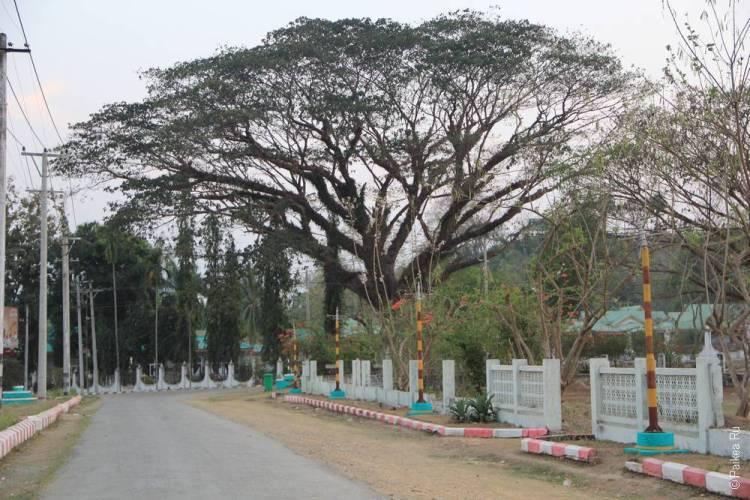 Раскидистое дерево