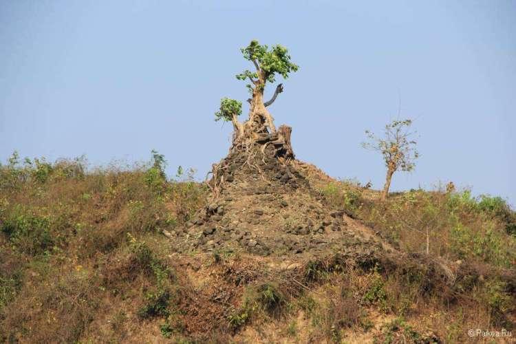 Дерево растет из пагоды в Мраук-У