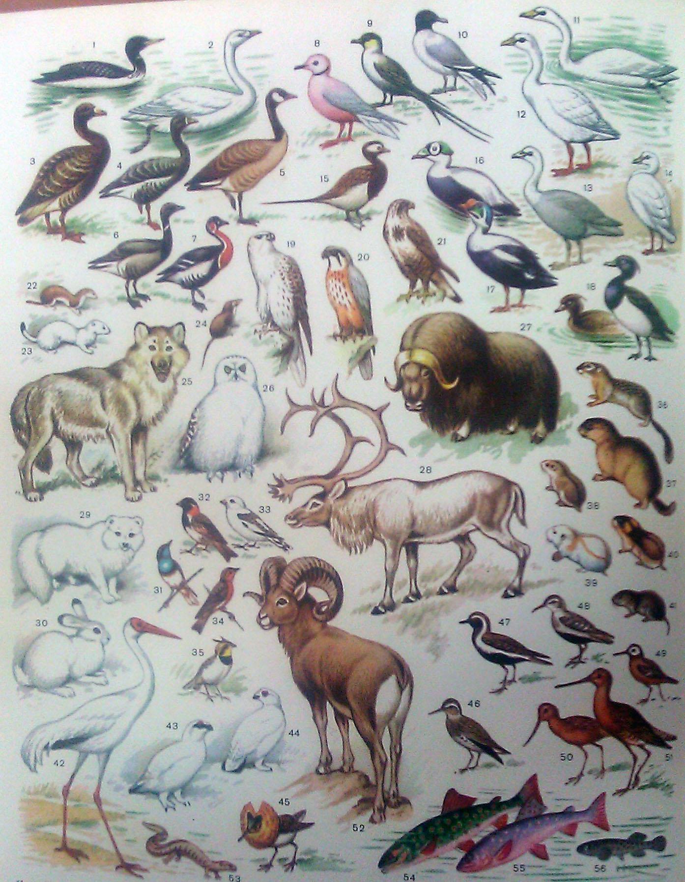 надеется, все о животных тундры с картинками гудзон