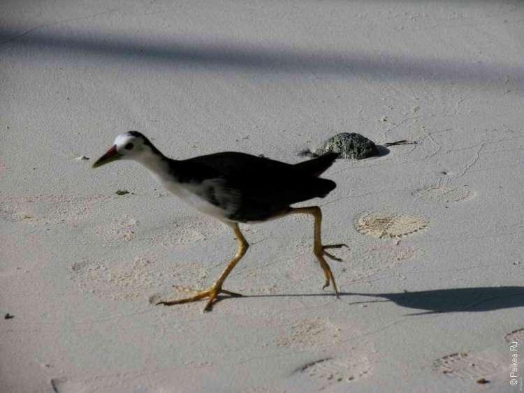 Птицы Мальдивы
