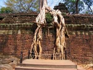 Большие корни деревьев на стене храма Та Пром