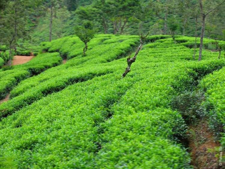 Плантации чая Шри-Ланка