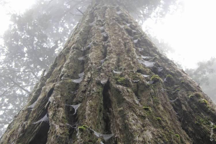 редвуд дерево в калифорнии