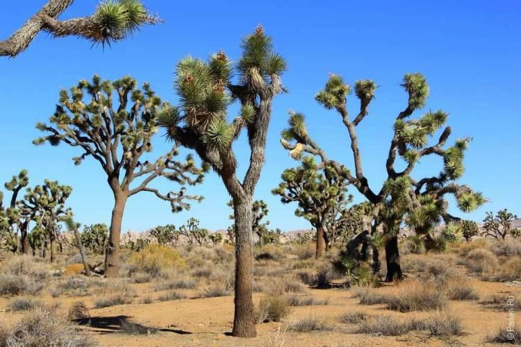 Удивительные деревья джошуа в пустыне Мохаве