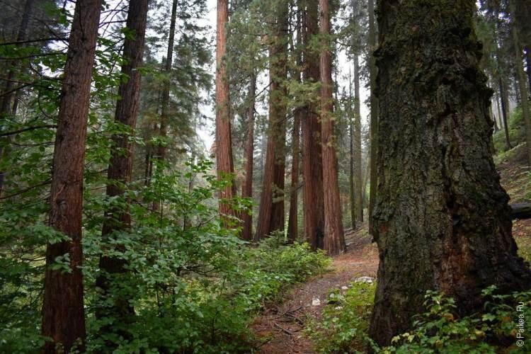 роща в парке секвойя, калифорния, сша