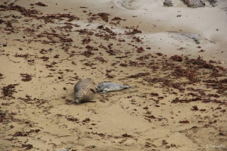 Пляж для котиков в Пойнт Лобос