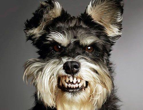 Como os cães escolhem para quem vão latir?
