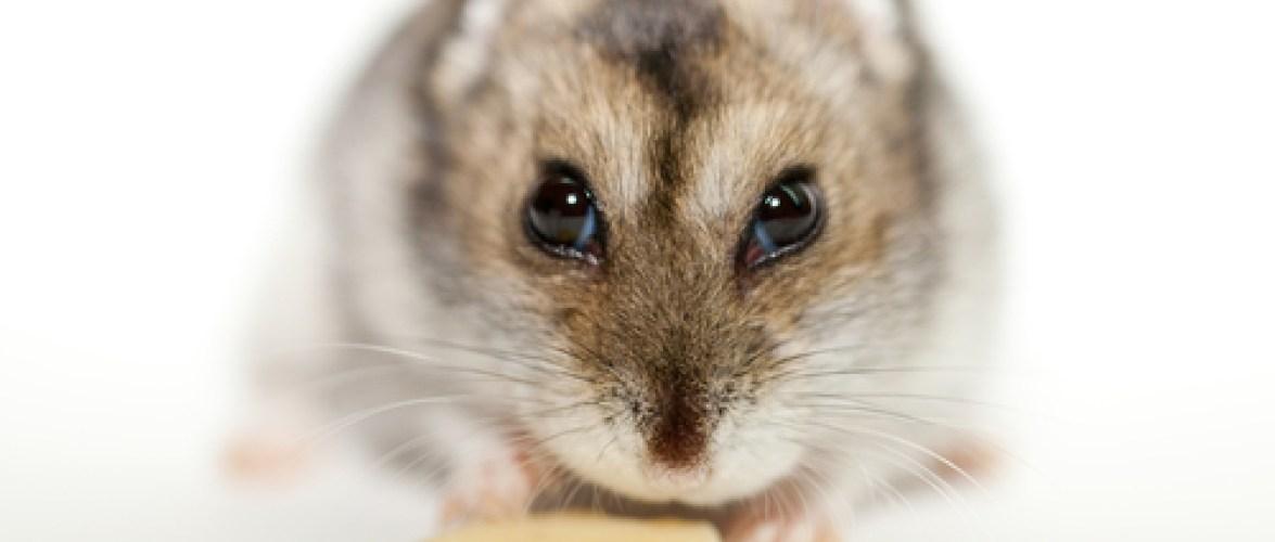 Sabia que os hamsters ficam gripados e que você pode transmitir a doença para eles?