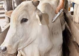 Mais de doze milhões de bovídeos devem ser vacinados contra febre aftosa