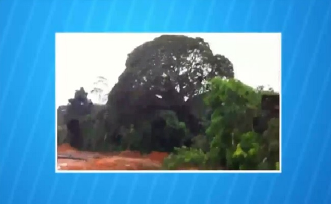 Secretaria de Meio Ambiente do município derruba castanheira centenária