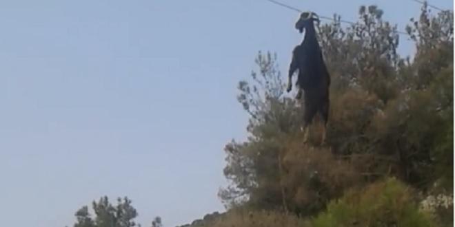 Bode fica preso a 6 metros de altura em cabos telefônicos. Veja vídeo!
