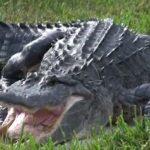 Crocodilo arrastou criança de dois anos