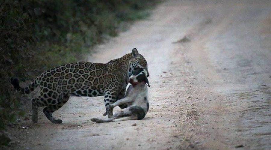 Onça-pintada é flagrada atacando cachorro em estrada