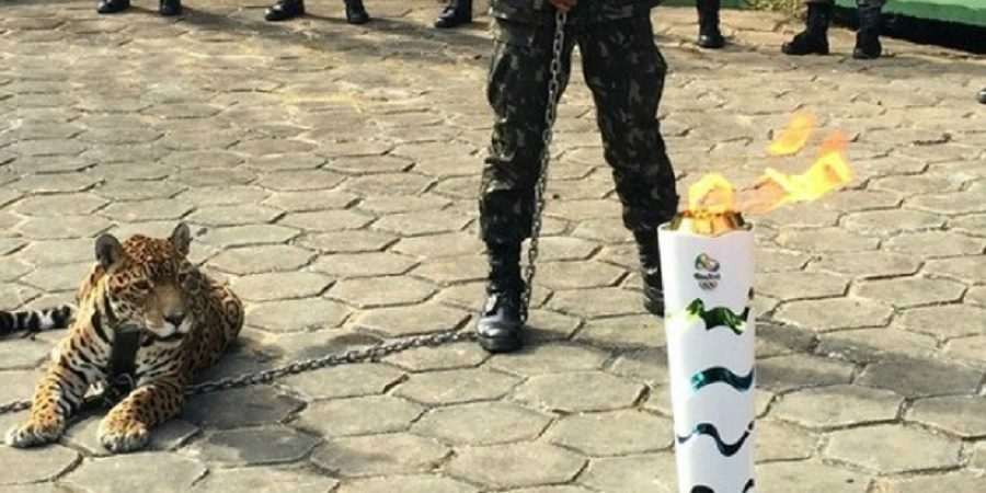 Estressada por evento da Tocha Olímpica, onça ataca soldado e é morta à tiros em Manaus