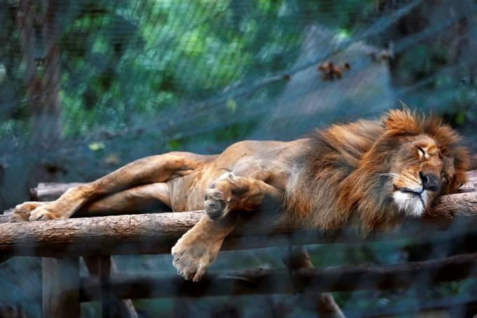 Leões de zoo na Venezuela estão comendo manga para não morrer de fome