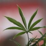 Casal que cultiva maconha para fins medicinais consegue habeas corpus
