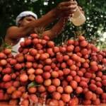 Milhares de crianças morreram na Índia após comer lichia