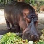 Hipopótamo é morto a facadas em zoológico e choca El Salvador