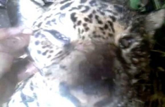 Caçadores matam onça, debocham do animal e vídeo causa revolta; veja