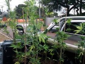 Polícia Civil descobre plantação de maconha na Universidade de Brasília