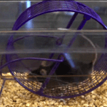 Medicamento transforma rato sedentário em 'fitness'