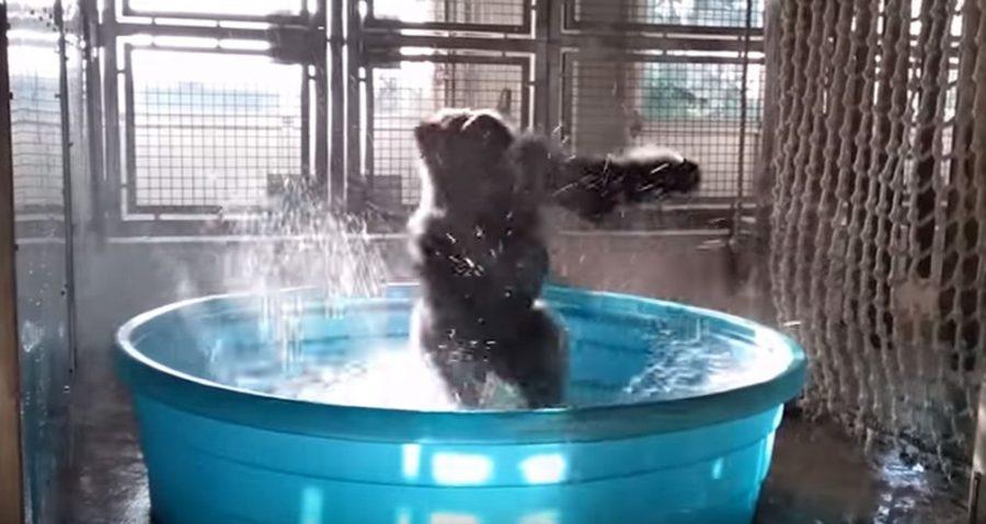 """Gorila faz sucesso ao som da trilha do filme """"Flashdance""""; confira"""