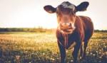 Para milhões de americanos, vacas marrons produzem leite achocolatado, diz pesquisa