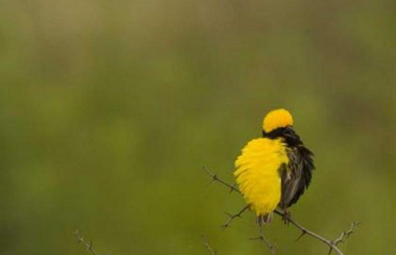 Por que os pássaros não caem dos galhos quando eles dormem?