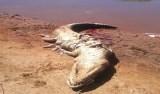Após desaparecimento de homem, moradores matam jacaré e encontram restos mortais no TO