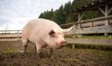 Cientistas criam porcos com órgãos para transplante em humanos