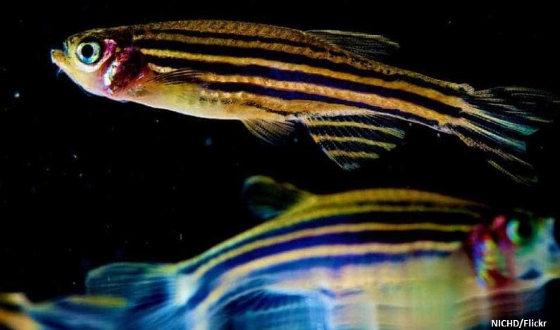 Cientistas viciam peixes de aquário em drogas para estudar dependência