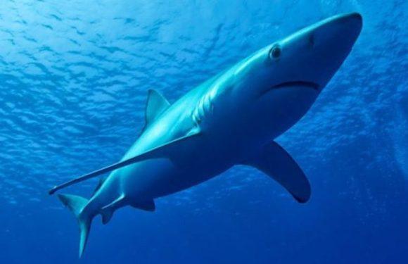 """Brasileiro come tubarão que é vendido nos supermercados com nome de """"cação"""""""