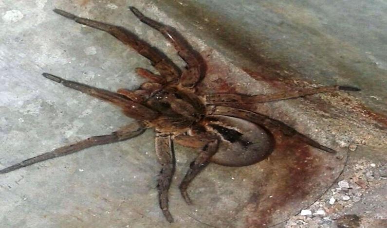 Aranha 'gigante' encontrada em garagem assusta moradores em SP