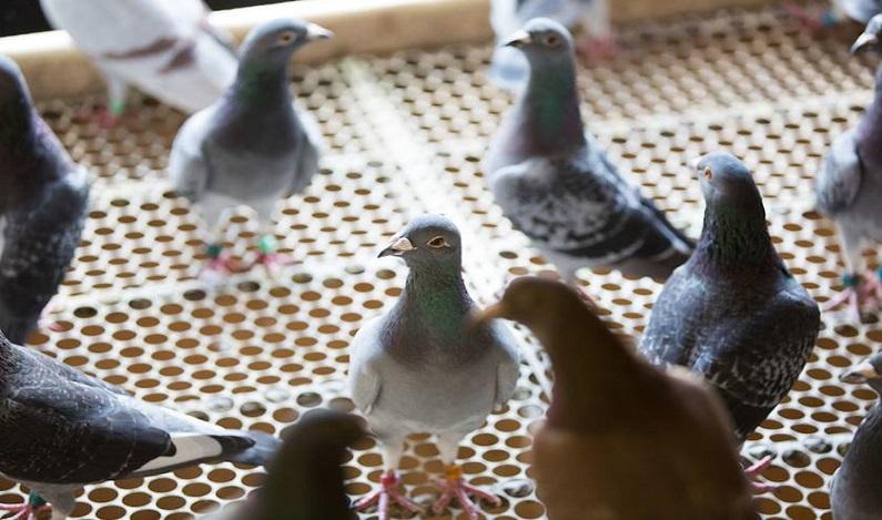 Pombos são capturados ao transportar celulares para cadeias em SP