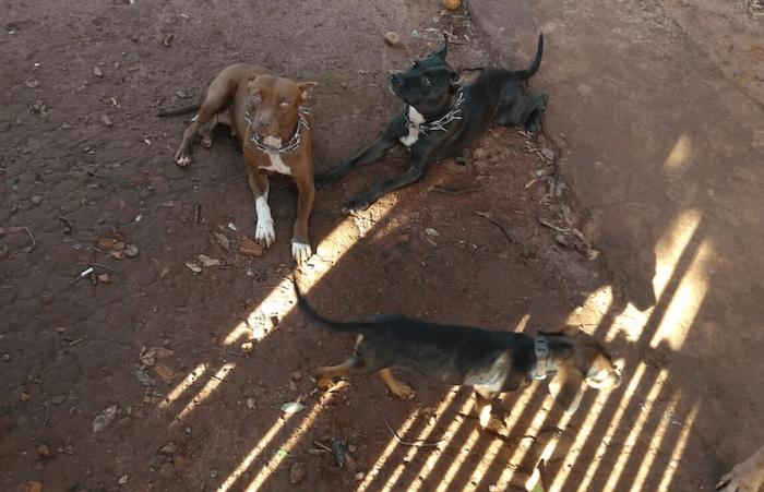 Ladrão é atacado por 4 pitbulls ao tentar furtar casa; Cães somente o soltaram quando dono deu ordem para parar