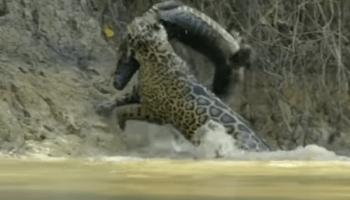 d0abdd07711 Vídeo que mostra onça pintada tirando um jacaré da água viraliza na web