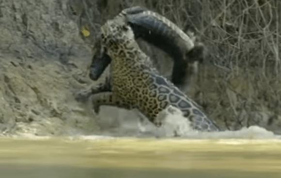 Vídeo que mostra onça pintada tirando um jacaré da água viraliza na web