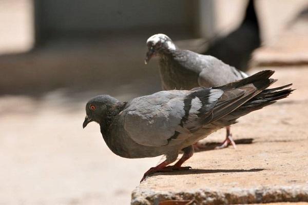 Doença do pombo deixa três pessoas hospitalizadas e coloca DF em alerta