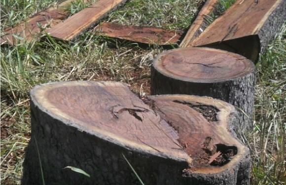 Trabalhador morre ao ser esmagado por árvore durante derrubada em Buritis, RO