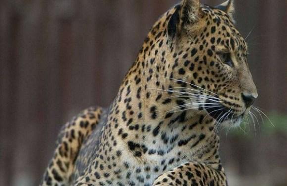 Leopardo devora criança de 3 anos em parque natural de Uganda