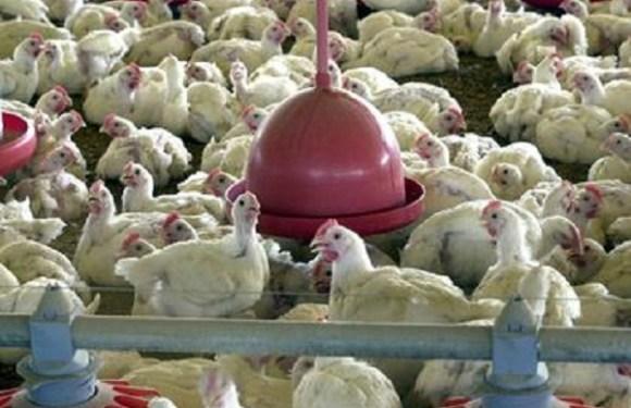 Medida provisória libera estoques de milho da Conab para criadores de aves e suínos