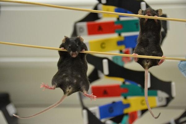 Cientistas cortam DNA de cobaias machos e ovário aparece no lugar de testículo