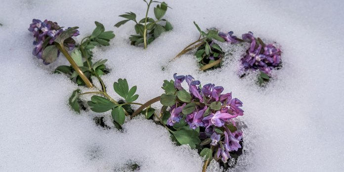 Corydalis Plant Ancient Remedy